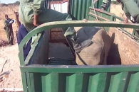 마취제 놓고 발길질까지…짐바브웨 코끼리 포획 현장