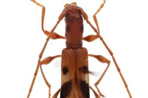 두눈긴가슴하늘소·다정큼나무이…곤충 50종에 우리말 이름 생긴다