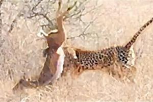 임팔라 순식간에 사냥하는 표범