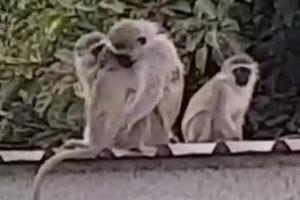 새끼 원숭이, 가족과 감격의 재회 순간