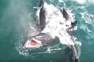 밍크고래 사냥하는 범고래떼 포착