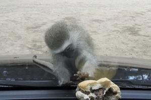 '이걸 어떻게 잡지?' 차 안 햄버거 탐내는 야생 원숭이