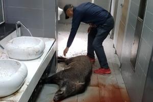 대학 도서관서 난동 부리던 멧돼지 사살
