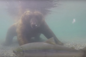 잠수해 연어 사냥하는 곰 포착