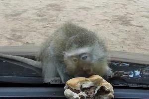 [핵잼 라이프] 햄버거 먹으려 안간힘 쓰는 아기 원숭이… 누리꾼 시끌