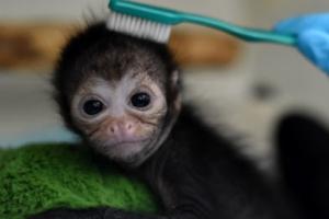 [포토] 칫솔로 보살핌 받는 새끼 원숭이