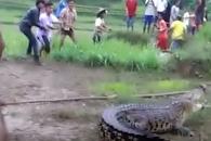 홍수 뒤, 논에 떠내려 온 5m 악어에 '화들짝'