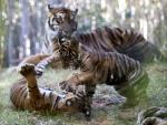 아기 호랑이들의 재롱 '…