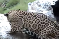 발 헛디딘 동물원 표범의 굴욕