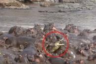 새끼 보호 위해 악어 잡는 하마 무리들