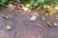 가위개미가 잎 옮기는 진짜 이유는?