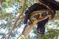 30분 만에 잡은 박쥐 포기한 거대 비단뱀, 왜?