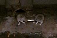 감자튀김 한 개 두고 줄다리기하는 생쥐들