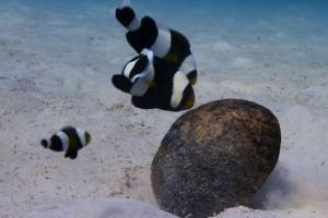 산란 위해 힘 합쳐 코코넛 껍질 옮기는 물고기들