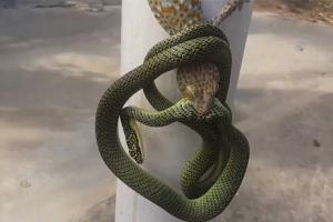 치열한 접전 벌이는 뱀과 도마뱀