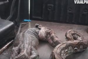 비단뱀 위장서 나온 거대 모니터 도마뱀