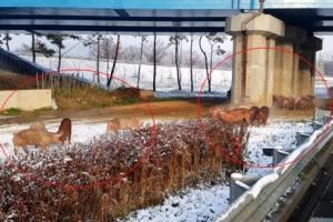 고속도로로 나온 돼지 30여마리…눈길에 넘어진 트럭서 탈출