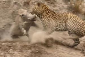 멧돼지 잡은 표범의 반전 결말