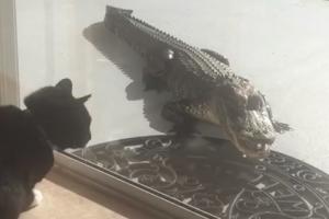 가정집 고양이 호시탐탐 노리는 악어