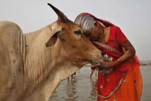 [글로벌 인사이트] 소 잡으면 종신형…인도 농축산업 망하겠소