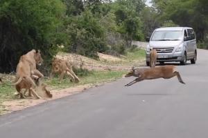 순식간에 사슴 제압해 허기 달래는 사자 무리