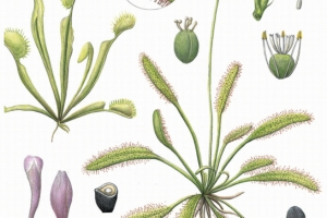 [이소영의 도시식물 탐색] 벌레잡이식물의 생존 전략