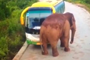 도로 출몰해 차량 공격하는 야생 코끼리