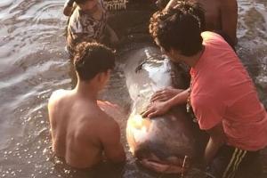 태국 늪서 발견된 200kg 메콩 자이언트 메기