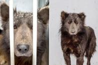 '개야 곰이야?' 러시아서 발견된 곰 닮은 개