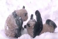 눈밭 뒹구는 쌍둥이 판다