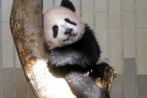 [포토] '심심해요'… 日 동물원의 아기 판다 '샨샨'