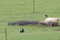 호주 가정집 앞마당서 암소 뜯고 있는 거대 악어