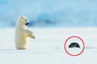 얼음구멍 얼굴 내민 물개 본 새끼 북극곰 반응?