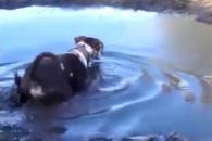 흙탕물 속 숨어 있다가 개 사냥하는 악어