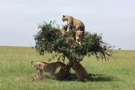 키 작은 나무에 정원 초과한(?) 사자 떼