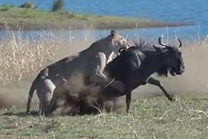 새끼 밴 누 순식간에 사냥하는 사자