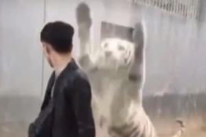 '유리벽 뒤로 살금살금'  관람객 덮치는 동물원 호랑이