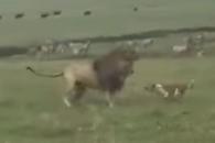 강아지 공격에 뒷걸음질…체면 구긴 사자