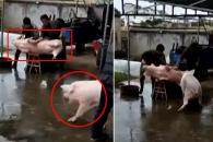 중국서 도살 직전 동료 구하는 돼지 포착