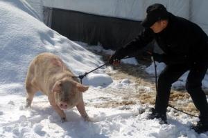 [포토] 트럭에서 탈출했지만…119에 붙잡힌 돼지