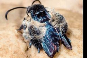 벌 흉내내는 희귀나방, 말레이 숲속서 126년만에 모습 드러내