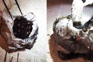 알 속에서 수백 마리 '독거미'가 우글우글