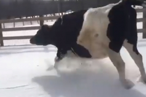 [별별영상] 눈밭 뛰놀며 신이 난 젖소