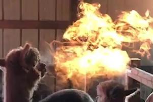'난 숨만 쉬었을 뿐' 불 내뿜는 알파카 영상의 진실?