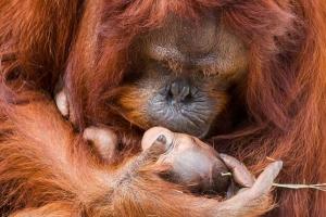갓 태어난 아기 오랑우탄에게 '키스'하는 엄마 오랑우탄