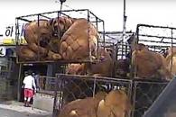 """""""개들이 고통스럽게 도축되고 있다"""" 동물단체 모란 …"""