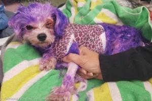 강아지, 사람 염색약 썼을때 벌어질 수 있는 일