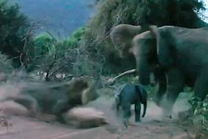 사자 공격으로부터 새끼 지키는 어미 코끼리