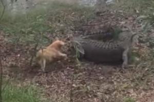 강아지 공격에 꽁무니 내빼는 악어