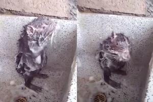 비누 묻혀서 구석구석…사람처럼 샤워하는 생쥐 화제